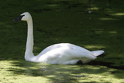 Trumpeter Swan on or near a small pond covered in algae. <br /> <br /> Cygnus buccinator