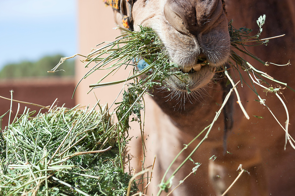 Dromedary (camel) eating grass.