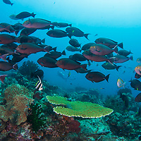 School of Yellowmask Surgeonfish, Acanthurus mata, over reef, Komodo Island, Indonesia.