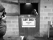 "Shergar Foal Sale.1983.20.11.1983.11.20.1983.20th November 1983..An,as yet,un-named foal  sired by the famous Shergar was on view for the first time today. The viewing was prior to the auction to be held at Goffs Sales,Kildare..Image of ""Lot 303"" as he poses for the cameramen..Note; On the 8th February 1983,""Shergar"",was kidnapped from the Ballymany Stud,Curragh, Co,Kildare. the IRA were the alleged kidnappers. Shergar had been syndicated for £10million by the Aga Khan,his owner. Shergar had won the Epsom Derby by a record 10 lengths. The purported ransom was £2million. Despite a large investigation the horse had dissappeared and no trace of him was ever found. The story has been the subject of much controversy and has be much covered in books and film"
