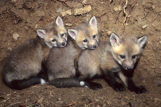 Red Fox, (Vulpus fulva) Young kits in den. Captive Animal.