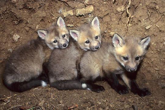Red Fox, (Vulpus fulva) Young kits in den. Captive Animal.