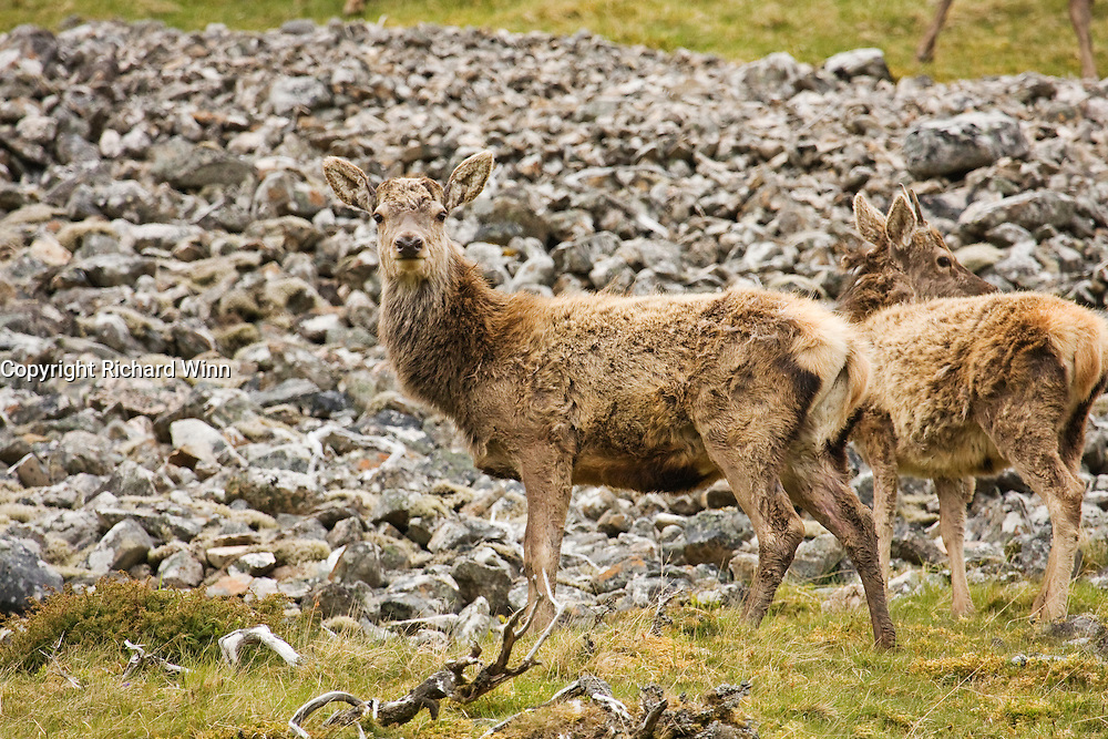 A red deer on the slopes of Strathdearn in the Scottish Highlands, part of a large herd of stags.