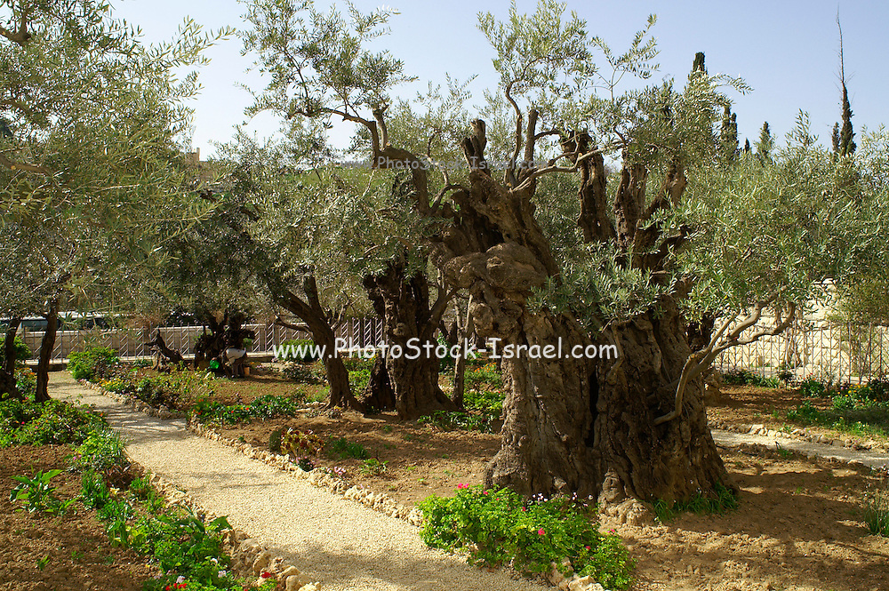 Olive trees in the garden of Gethsemane, in the grounds of the Basilica of the Agony - Church of all Nations, Gethsemane, Jerusalem, Israel. The Church of All Nations, also known as the Church of the Agony or the Basilica of the Agony, is located on Mount of Olives in Jerusalem, next to the Garden of Gethsemane. It enshrines a section of bedrock where Jesus is said to have prayed before the night of his arrest.<br /> The chapel was built from 1919 to 1924 using funds from many different countries (hence the title). The symbols of each country are incorporated into the glass of the ceiling, each in a separate, small dome. The front of the church is a facade supported by a row of pillars. Above is a modern mosaic depicting Jesus Christ symbolically as the link between God and humanity.