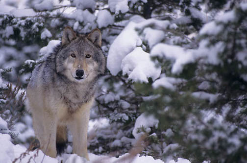 Gray Wolf, (Canis lupus) Adult in western Rocky mountains. Montana. Winter. Captive Animal.
