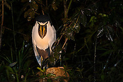Boat-billed Heron (Cochlearius cochlearius)<br /> Mapari River<br /> Rupununi<br /> GUYANA<br /> South America<br /> RANGE: Mangrove Swamps from Mexico to Peru