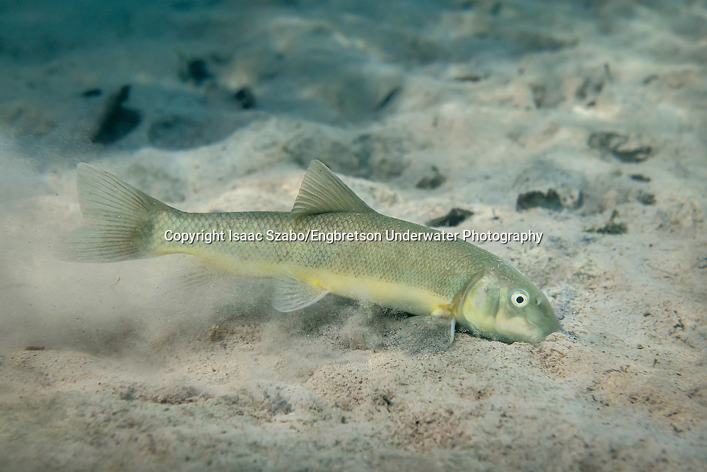 Sonora Sucker<br /> <br /> Isaac Szabo/Engbretson Underwater Photography