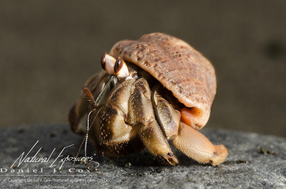 Hermit Crab on the beach in southwestern Costa Rica.