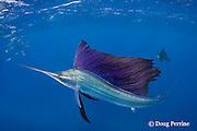 Atlantic sailfish, Istiophorus albicans, lit up in bright colors, attacking bait ball of Spanish sardines (aka gilt sardine, pilchard, or round sardinella ), Sardinella aurita, off Yucatan Peninsula, Mexico ( Caribbean Sea )