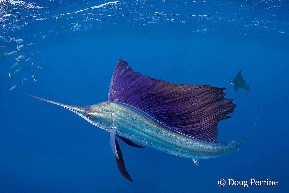 Atlantic sailfish, Istiophorus albicans, lit up in bright colors, attacking bait ball of Spanish sardines (aka gilt sardine, pilchard, or round sardinella ), Sardinella aurita, off Yucatan Peninsula, Mexico ( Caribbean Sea )