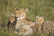 Cheetah<br /> Acinonyx jubatus<br /> Mother and 8 week old cubs sleeping in grass<br /> Maasai Mara Reserve, Kenya
