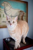 Big indoor cat waits for dinner.