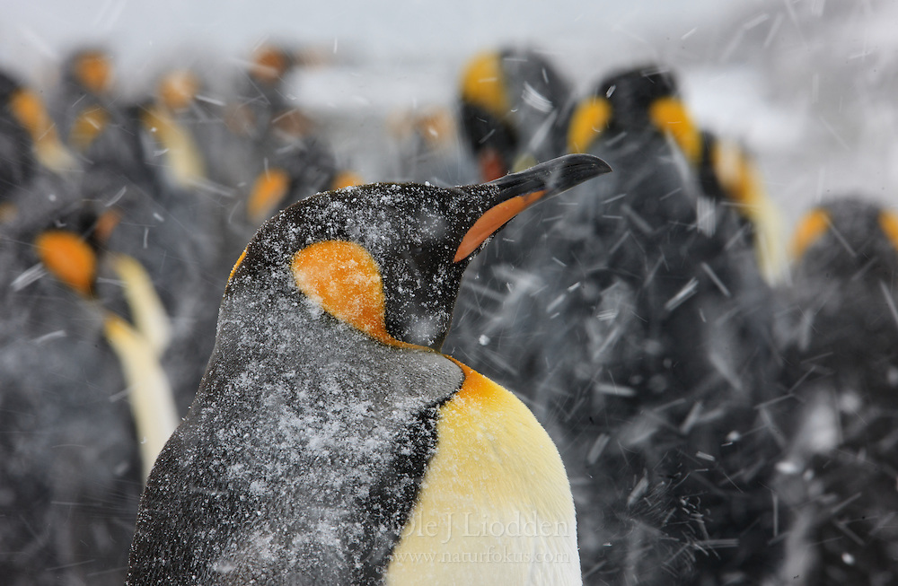 King Penguin (Aptenodytes patagonicus) in heavy snow, South Georgia Islands, Southern Ocean, Antarctic Convergence