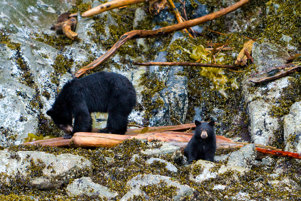 A black bear and her cub along the shore search for food on a Tide Rip Grizzly Bear tour.  Tide Rip Grizzly Bear tours offer wildlife tours in Knight Inlet to find bears in the spring.  As the snows melt, both black and grizzly bears emerge from their hibernation dens on the mountain slopes. Hungry bears make their way down to feed on the spring sedge grasses in the river lowlands. Sedges have 20% vegetable protein value, enough to sustain the bears.  The flat bottom viewing boats allow the tour operators to bring guests into very shallow areas and hopefully closer to the wildlife for safe viewing.  Tours depart daily from Telegraph Cove on Vancouver Island.