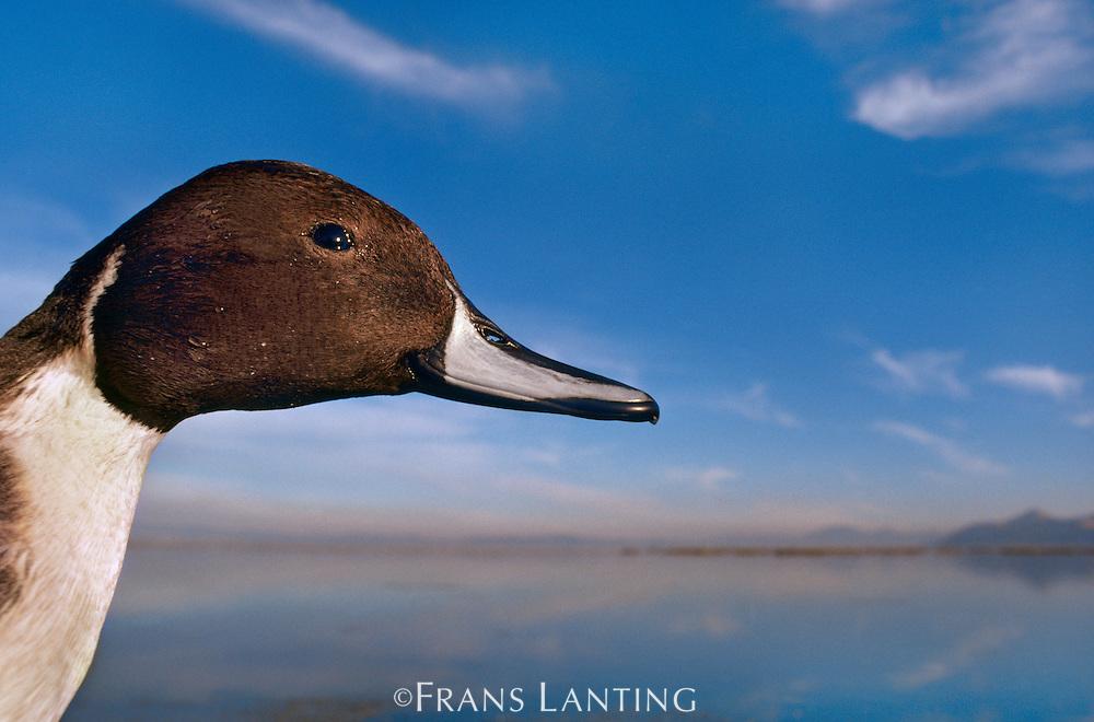 Pintail duck, Anas acuta, Klamath Basin National Wildlife Refuge, California