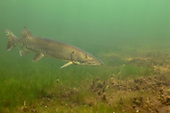 Muskellunge<br />