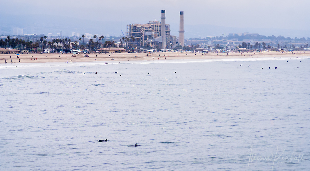 With a view of the urban development and industry of the Southern California coast on the horizon, the fins of a pair of dolphins break the surface of the ocean
