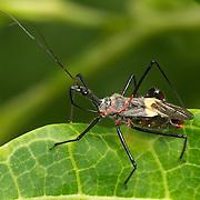 Reduviidae Assassin bug.