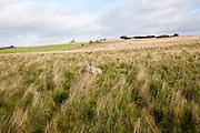 Fyfield Down national nature reserve, Marlborough Downs, Wiltshire, England, UK unimproved chalk grassland with sarsen stones i