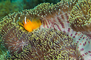 Eastern Shunk Anemonefish, Amphiprion sandaracinos, Magnificent Sea anemone, Ritteri anemone,Heteractis magnifica, Lembeh, North Sulawesi, Indonesia, Asia