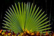 Brumadinho_MG, Brasil..Centro de Arte Contemporanea Inhotim, na foto detalhe da flor Licuala...Contemporary Art Center Inhotim, in this photo the flower Licuala...Foto: JOAO MARCOS ROSA / NITRO