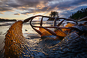 Kelp on a beach along the Strait of Juan de Fuca near, Point Angeles, Washington