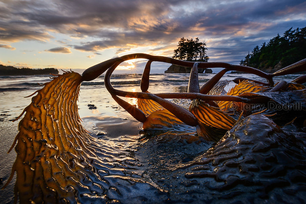 Kelp on a beach along the Strait of Juan de Fuca near, Point Angeles, Washington