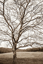 Sycamore Tree found in Montauk, NY