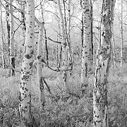 Aspen Grove Close - Oxbow Bend, WY - Infrared Black & White