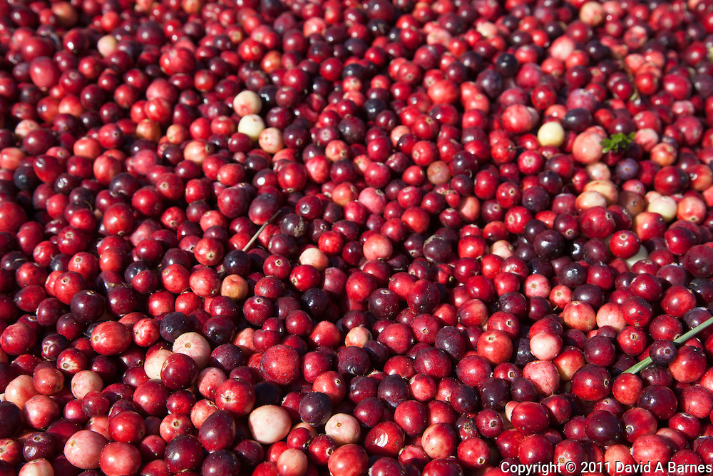 Freshly picked cranberries.
