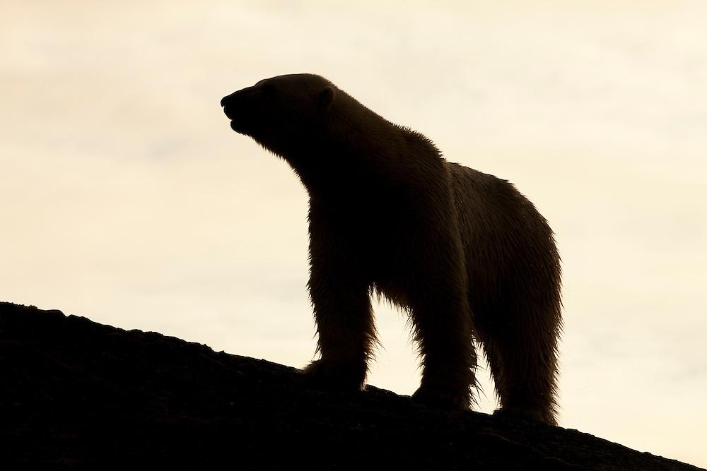 Norway, Svalbard, Spitsbergen Island, Silhouette of adult male Polar Bear (Ursus maritimus) standing on mountainous island in Fuglefjorden lit by midnight sun
