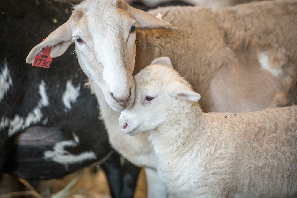 A ewe lovingly rubs her head against her newborn lamb, College Park, Maryland.