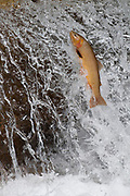 A cutthroat trout attempts to leap over a small falls in order to work its way up a tributary of the South Fork of the Snake River, Idaho, to spawn.