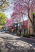 Jacaranda Trees in Bloom on Harbor Blvd in Downtown Fullerton
