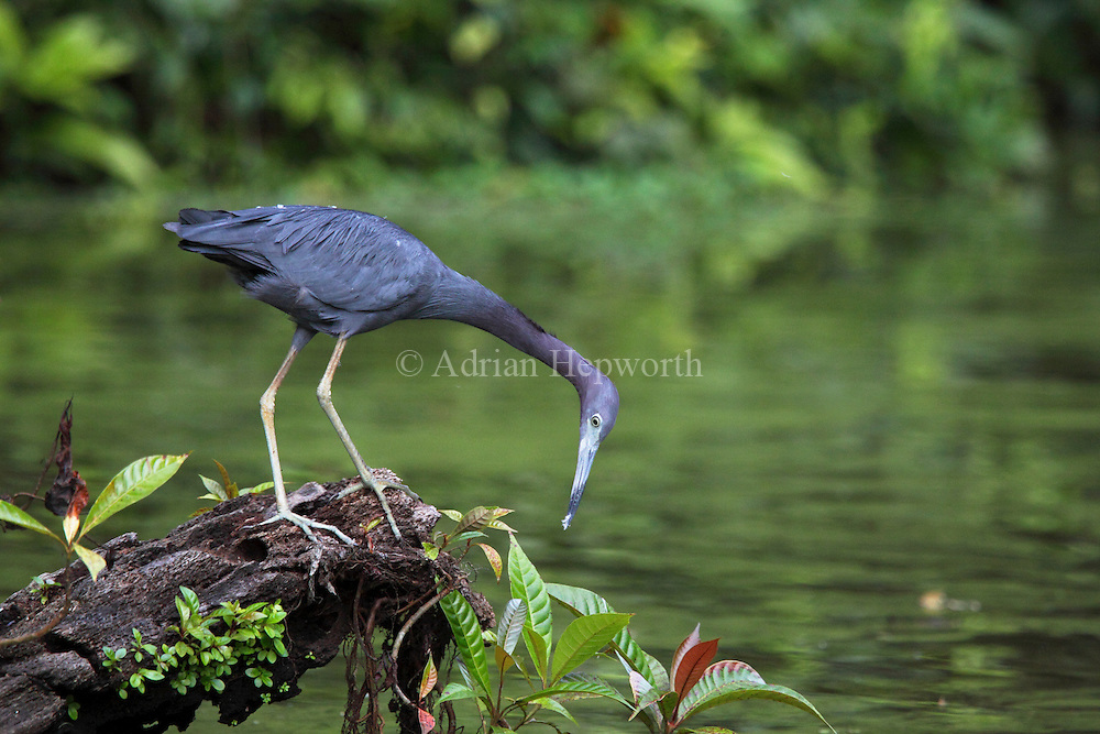 Little Blue Heron (Egretta caerulea) hunting on natural canal, Tortuguero National Park, Costa Rica. <br />