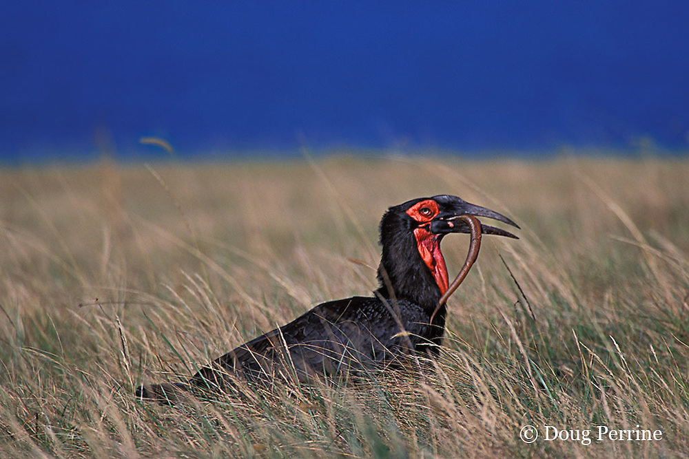African ground hornbill, Bucorvus leadbeateri, eating snake, Mkambati, the Wild Coast, Transkei, South Africa
