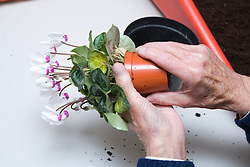 Older person potting on a cyclamen plant in a Thrive gardening workshop for visually impaired people visiting the NRSB,