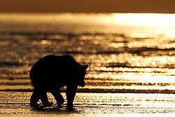 North American brown bear /  coastal grizzly bear (Ursus arctos horribilis) sow walks along a beach at sunrise, Lake Clark National Park, Alaska, United States of America