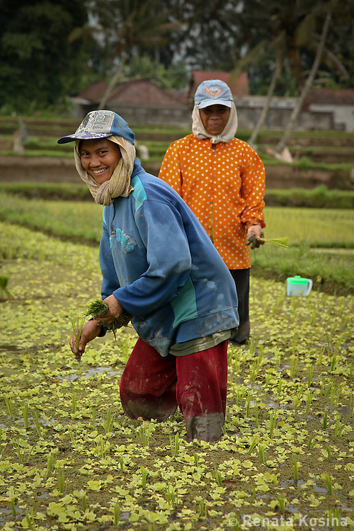 Two farmer women of Central Bali stand in knee-high water and mud in a rice paddy and plant young rice seedling. Rice is the main crop in Indonesia.