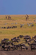 Animal life in Maasai Mara