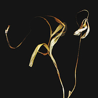 Thin dried plant on a black background with dramatic lighting