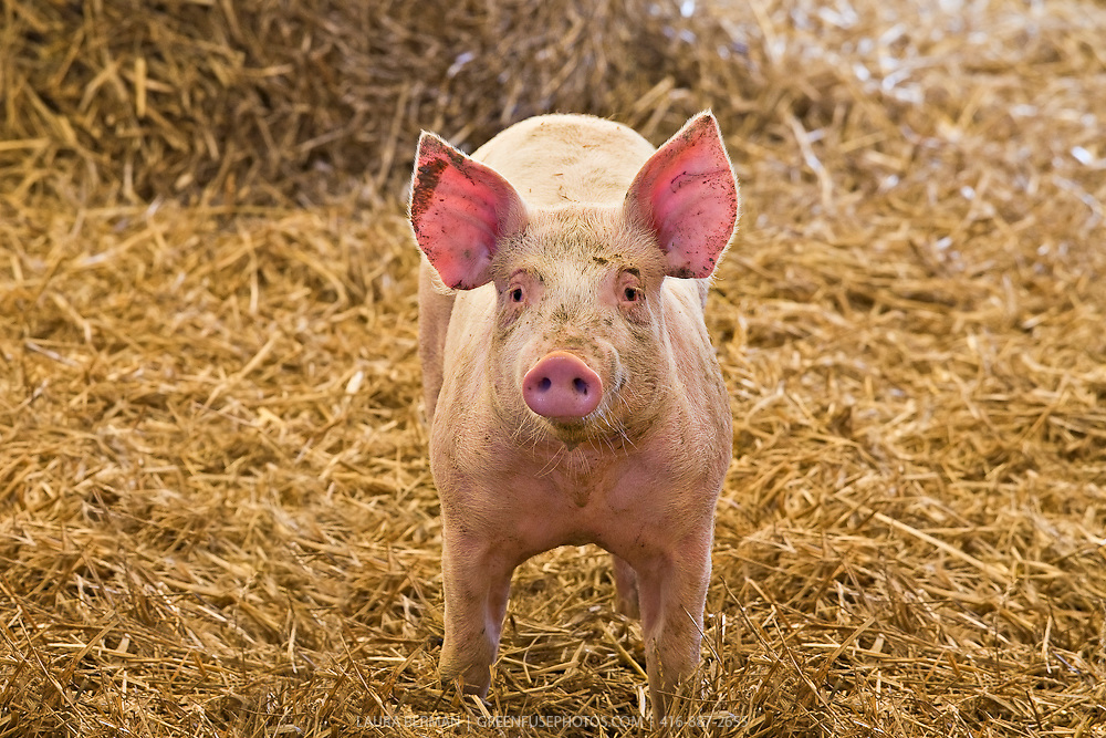 Young pink pig in a pig barn with clean straw bedding.