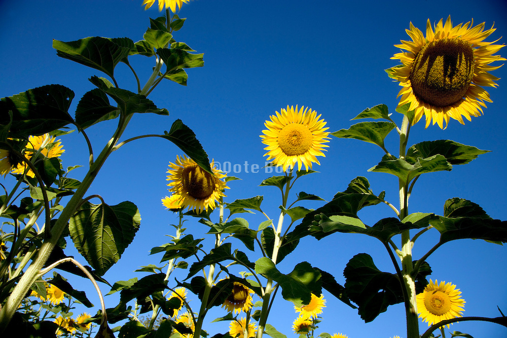low angle view of sunflowers