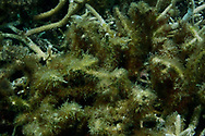 Turf algae infiltrates dead coral after a bleaching event off of Aharen Beach.  Turf algae takes over areas previously dominated by coral ensuring that the coral cannot recover.  Tokashiki Island, Kerama Archipelago, Okinawa, Japan. <br /> <br /> In 2016, 90% of the coral in Okinawa's Sekisei Lagoon, Japan's largest, were bleached in the worst coral bleaching event in recorded history - killing roughly 70% of the lagoon's coral, prompting Japan's Environmental Ministry to issue an emergency declaration.  Climate change will severely affect the already typhoon-lashed Ryukyu Islands of Okinawa, where even stronger typhoons will affect negatively life above and below the waves.<br /> <br /> Okinawa's economy is highly dependent on the tourism and fishing, both or which thrive only when there is a healthy marine ecosystem and climate change-induced coral bleaching would deal a blow to both industries.  The Environmental Ministry declaration states that Okinawa's coral reefs could die out completely by 2070.