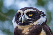 Spectacled owl, Pulsatrix perspicillata, Captive, education bird, Sky King Falconry, ranges southern Mexico to Argentina.