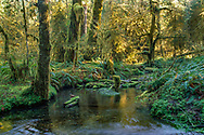 Clear stream in temperate rainforest, Hoh Rainforest, Olympic National Park