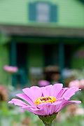 A purple flower in the foreground of a green home along Route 66. Missoula Photographer