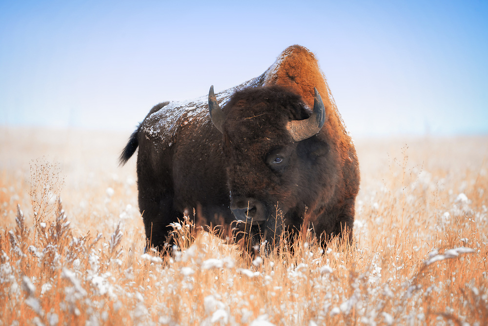This is a picture of a North American Bison on the Colorado plains right after a light snowfall.<br />