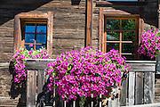 Pink flower boxes on old wood buildings. Winkelmatten, a suburb of Zermatt, in the Pennine Alps, Switzerland, Europe.