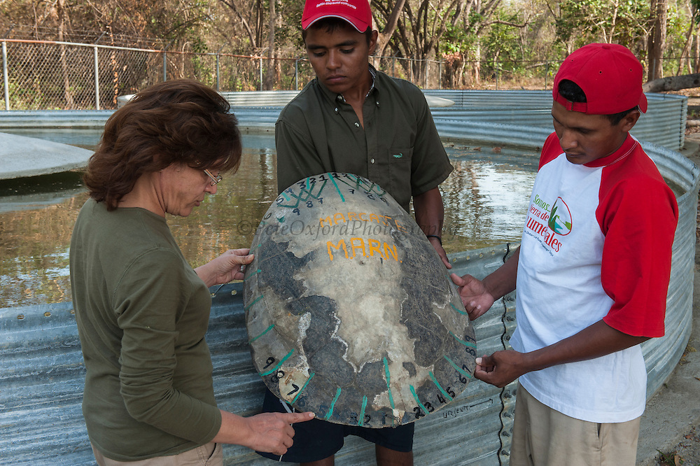 Giant River Turtle Carapace (Podocnemis expansa) Eneida Marin (Project co-ordinator) showing Danielson Llorente & Franklin Tovar the way to mark the numeration. CAPTIVE-REARING PROGRAM FOR REINTRODUCTION TO THE WILD<br /> CITES II      IUCN ENDANGERED (EN)<br /> (mid) Orinoco River, 110 Km north of Puerto Ayacucho. Apure Province, VENEZUELA. South America. <br /> L average 90cm, Wgt 30-45kg. Largest fresh water river turtle in South America. Eggs round & 42mm. 90-100 per clutch. 6-8 weeks incubation.<br /> (This female measured:69cm curved carapace length & weighed:31kg and layed 121 eggs) Females come ashore to sun themselves for several days before laying to boost egg development.  They lay when the river is at its lowest. Herbacious and live in white or black water rivers moving into flooded forests of the Amazon during the wet season to feed on fallen seeds and fruit.<br /> RANGE: Amazonia, Llanos & Orinoco of Colombia, Venezuela, Brazil, Guianas, Ecuador, Peru & Bolivia.<br /> Project from Base Camp of the Protected area of the Giant River Turtle (& Podocnemis unifilis). (Refugio de Fauna Silvestre, Zona Protectora de Tortuga Arrau, RFSZPTA)<br /> Min. of Environment Camp which works in conjuction with the National Guard (Guardia Nacional) who help enforce wildlife laws and offer security to camp. From here the ministery co-ordinate with other local communities along the river to hand-rear turtles for the first year of their life and then release them. They pay a salary to a person in each community that participates in the project as well as providing all food etc. The turtles are protected by law and there is a ban on the use of fishing nets in the general area. During egg laying season staff sleep on the nesting beaches to monitor the nests.  All nests layed on low lying ground are relocated to an area not likely to flood. They are then surrounded by a net to catch all hatchlings who will then spend the first year of their life in captivity to increase their chances of survival.